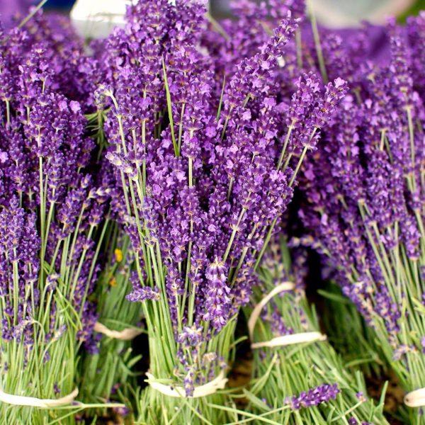 Lavender bands